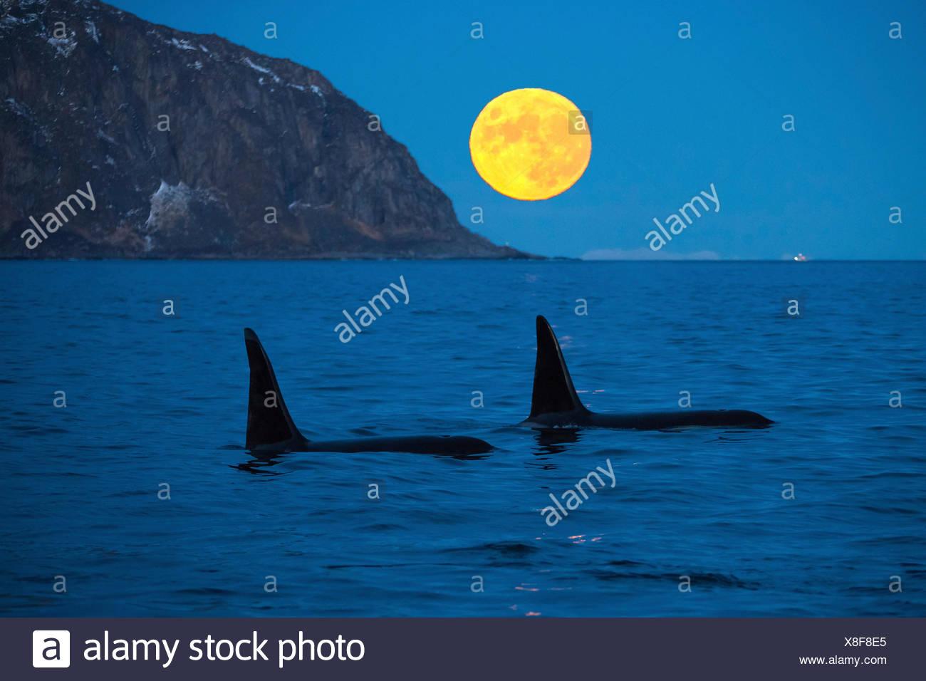 Schwertwal, Killerwal, Orca (Orcinus orca), zwei grosse Bullen vor aufgehendem Vollmond in der Daemmerung, Norwegen, Troms, Berg Stock Photo