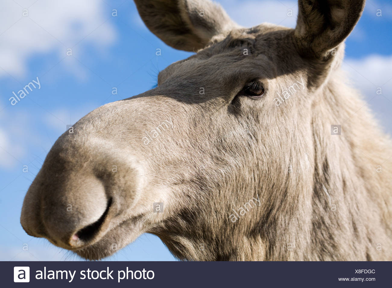 A moose, close-up, Sweden. - Stock Image