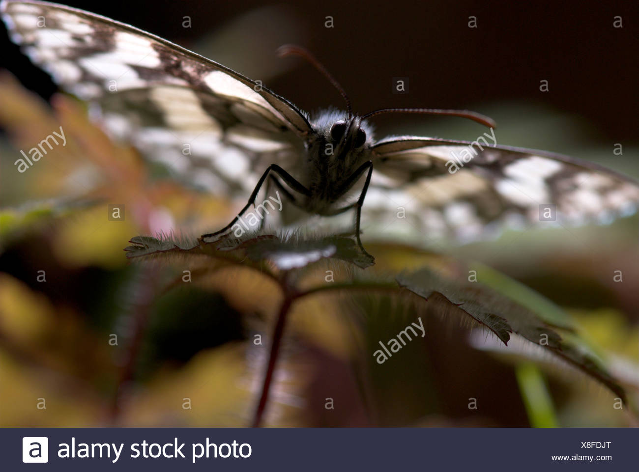 Marbled White Butterfly Melanargia galathea UK - Stock Image