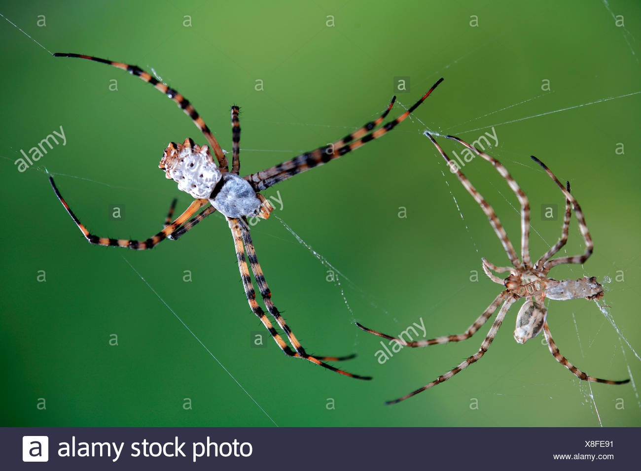 Lobed argiope spider Argiope lobata with shed skin Spain Europe - Stock Image