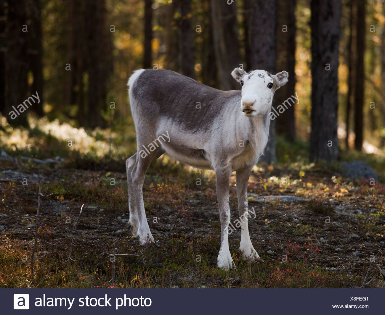 Reindeer in the forest - Stock Image