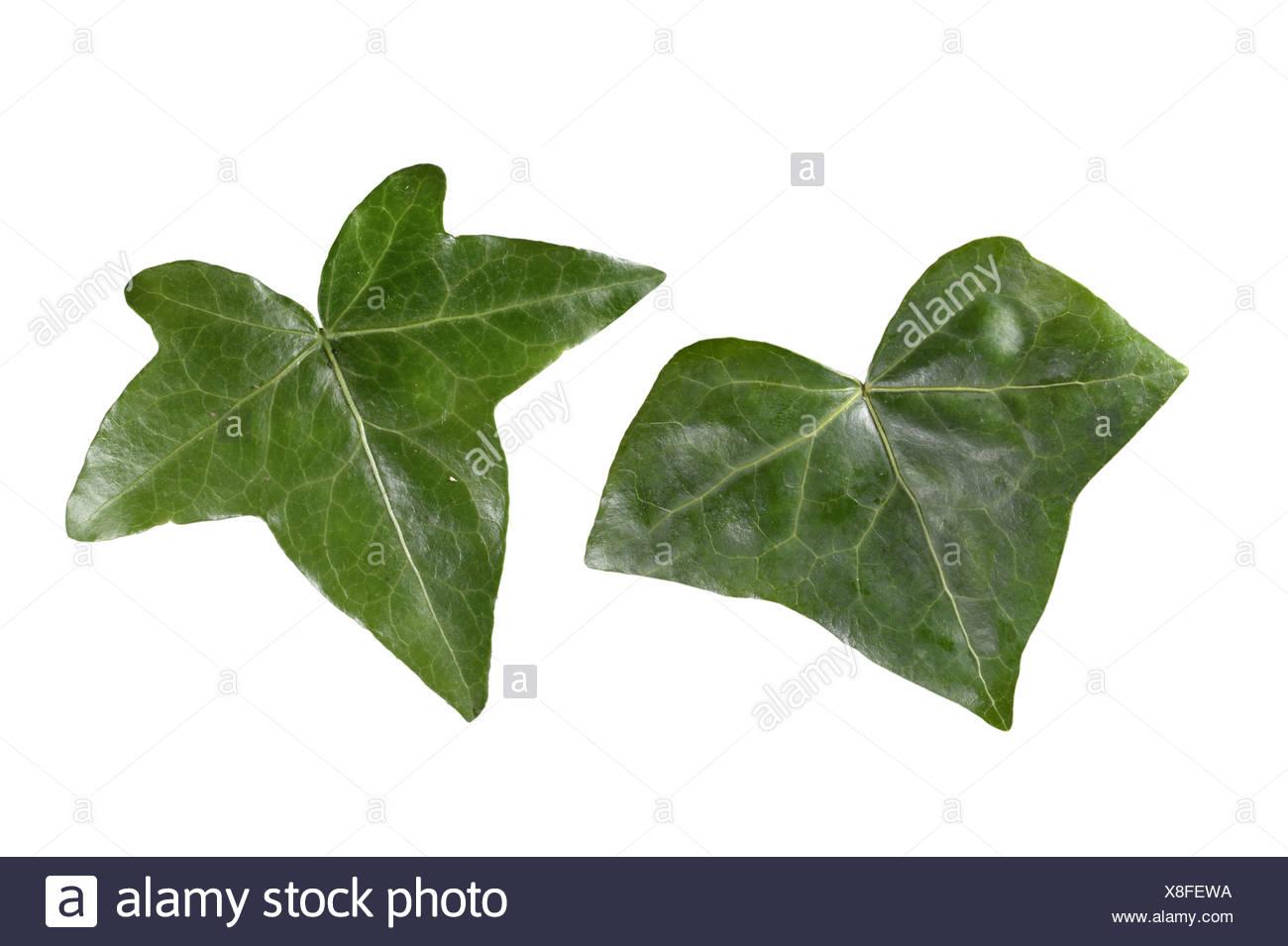 IVY Hedera helix (Araliaceae) - Stock Image