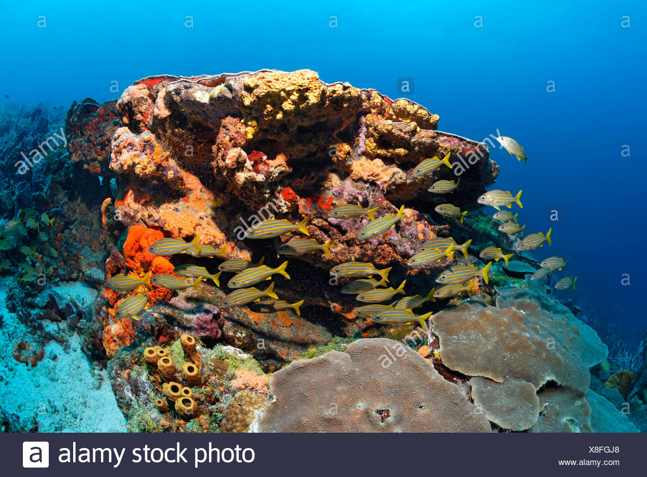 Coral reef, fish, various multicoloured sponges and corals, Smallmouth grunt (Haemulon chrysargyreum), Little Tobago, Speyside - Stock Image