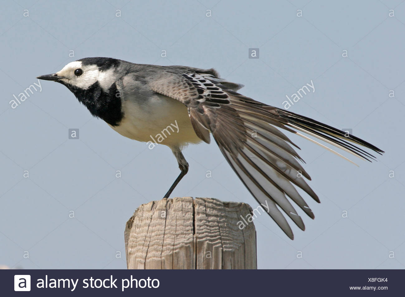 pied wagtail (Motacilla alba), on post stretching, Germany - Stock Image