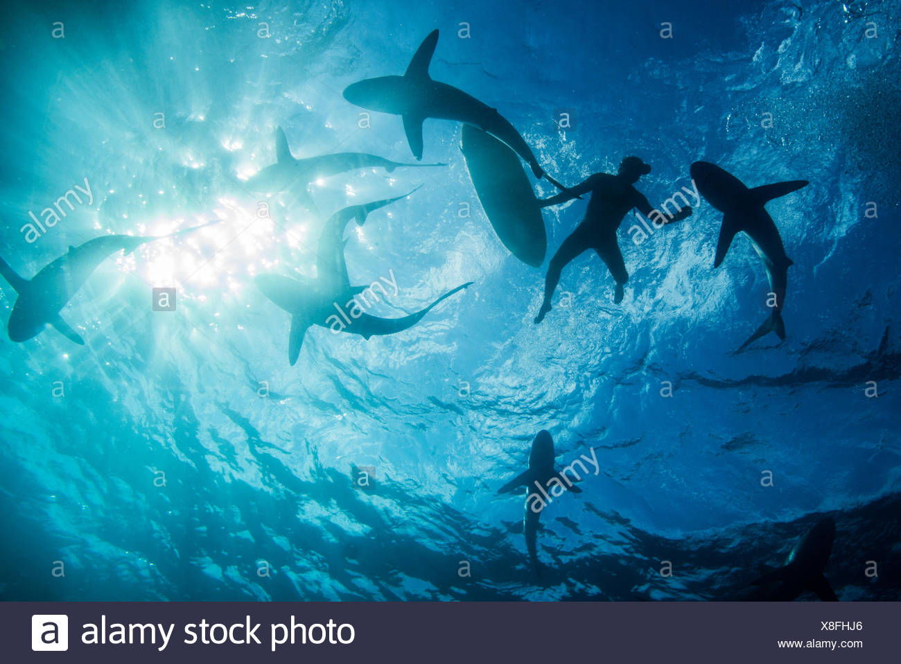 Low angle underwater view of surfer with surfboard with sharks, Colima, Mexico - Stock Image