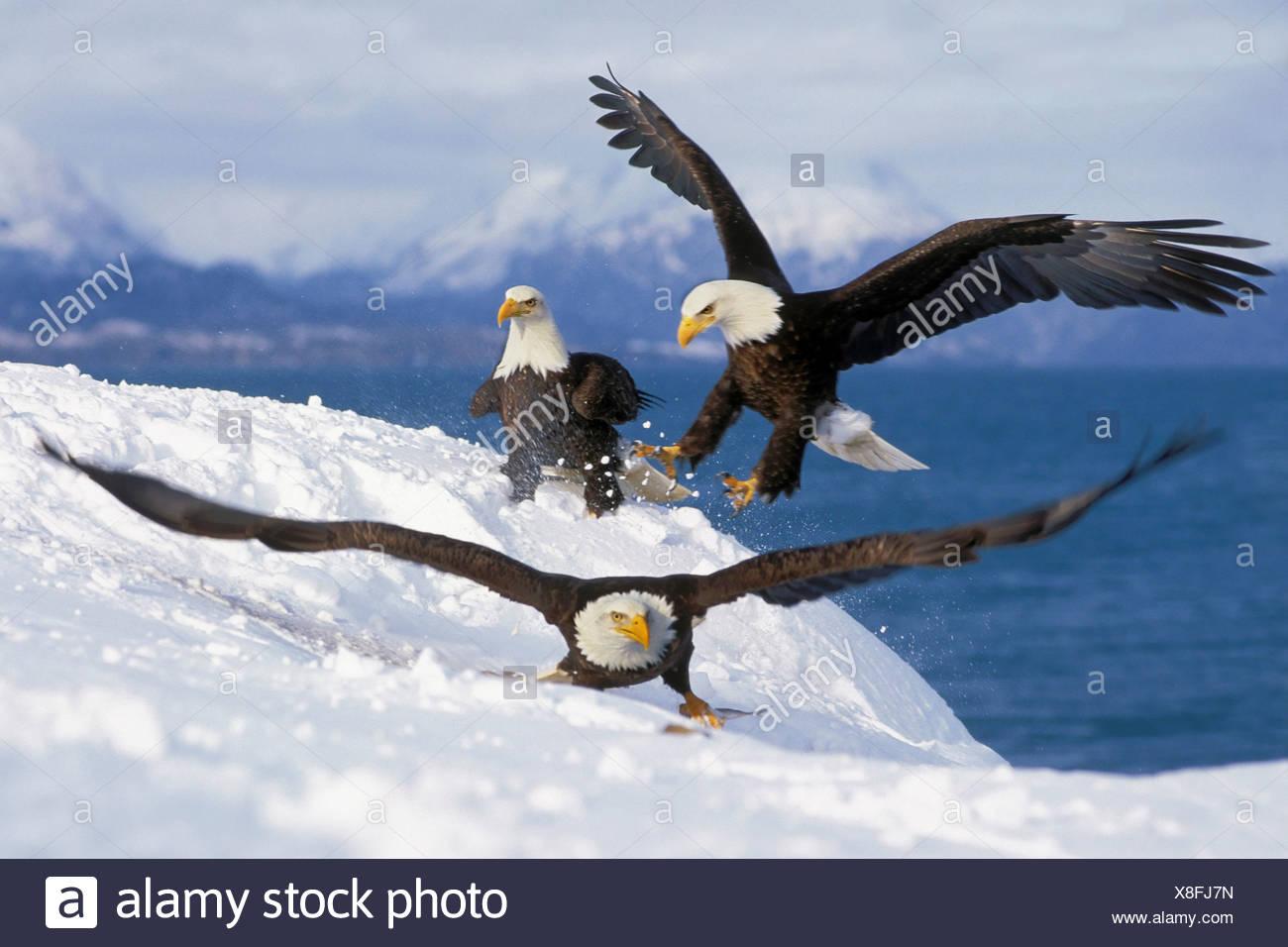 Bald eagles competing for fish, Homer, Alaska - Stock Image