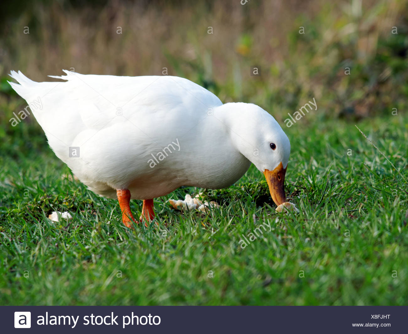 American Pekin Duck with bread on grass in a park. - Stock Image