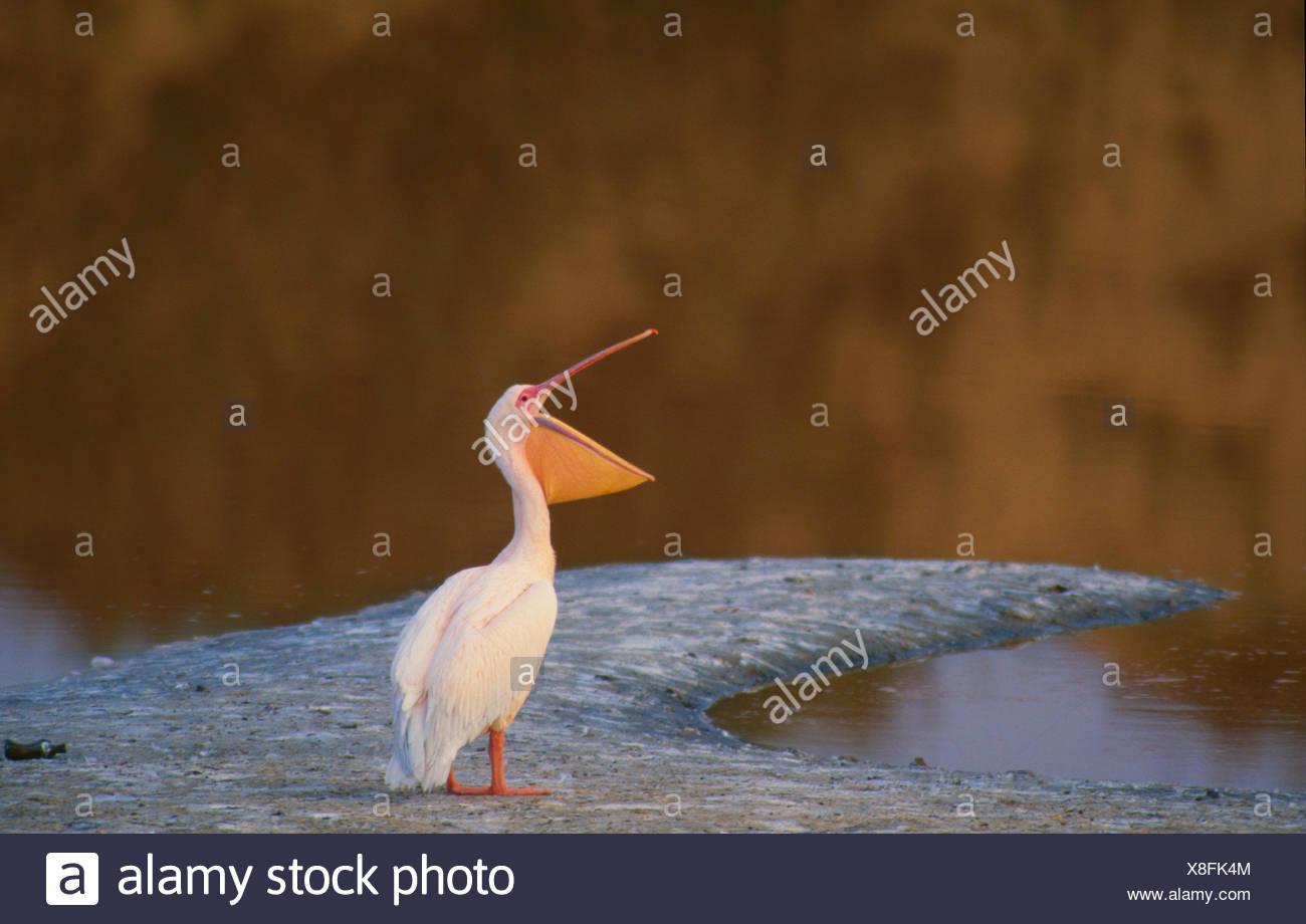 Eastern White Pelican, Pelecanus onocrotalus, - Stock Image