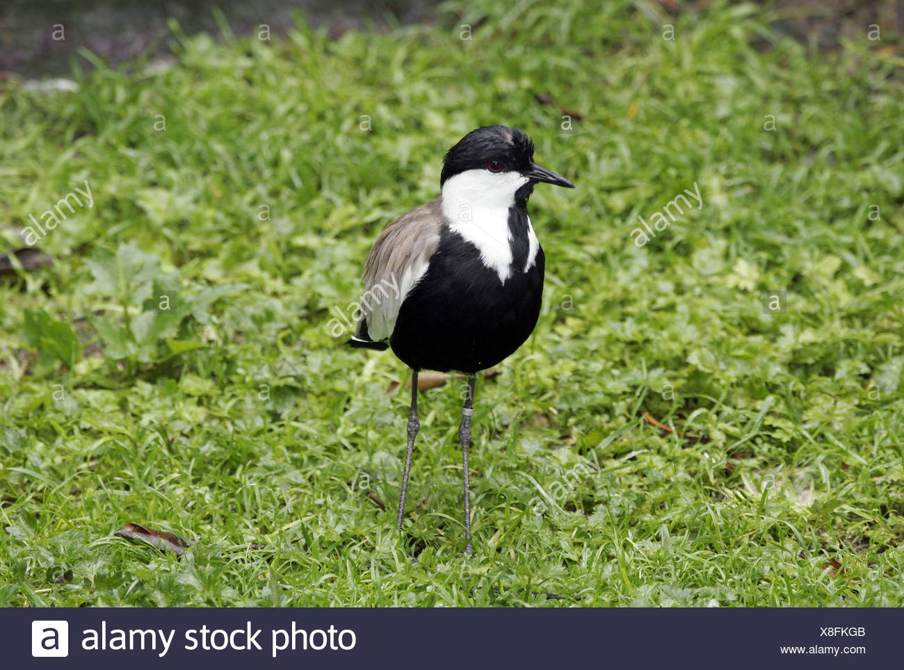 zoology / animals, avian / birds, Spur-winged Plover (Vanellus spinosus), standing in grass, distribution: Europe, Asia Minor, Additional-Rights-Clearance-Info-Not-Available - Stock Image