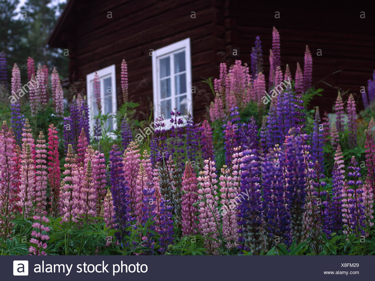 Sweden, Dalarna, Solleron, Picture of lupines Stock Photo