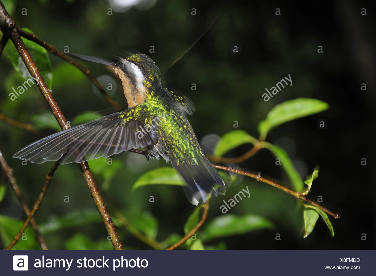Close-Up Of Hummingbird Flapping Wings - Stock Image