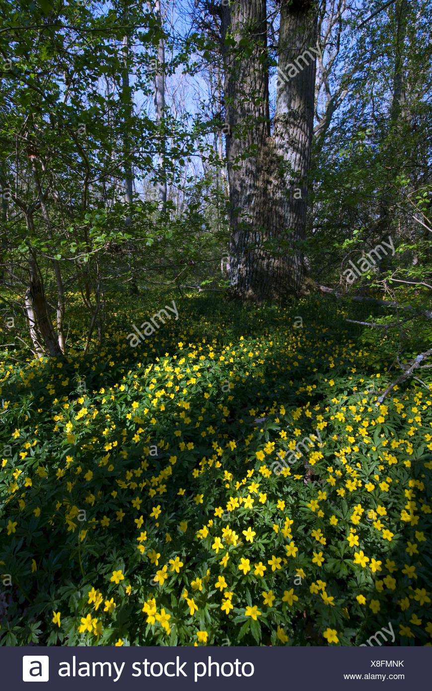 Scandinavia, Sweden, Skane, Oland, View of buttercup flower Stock Photo