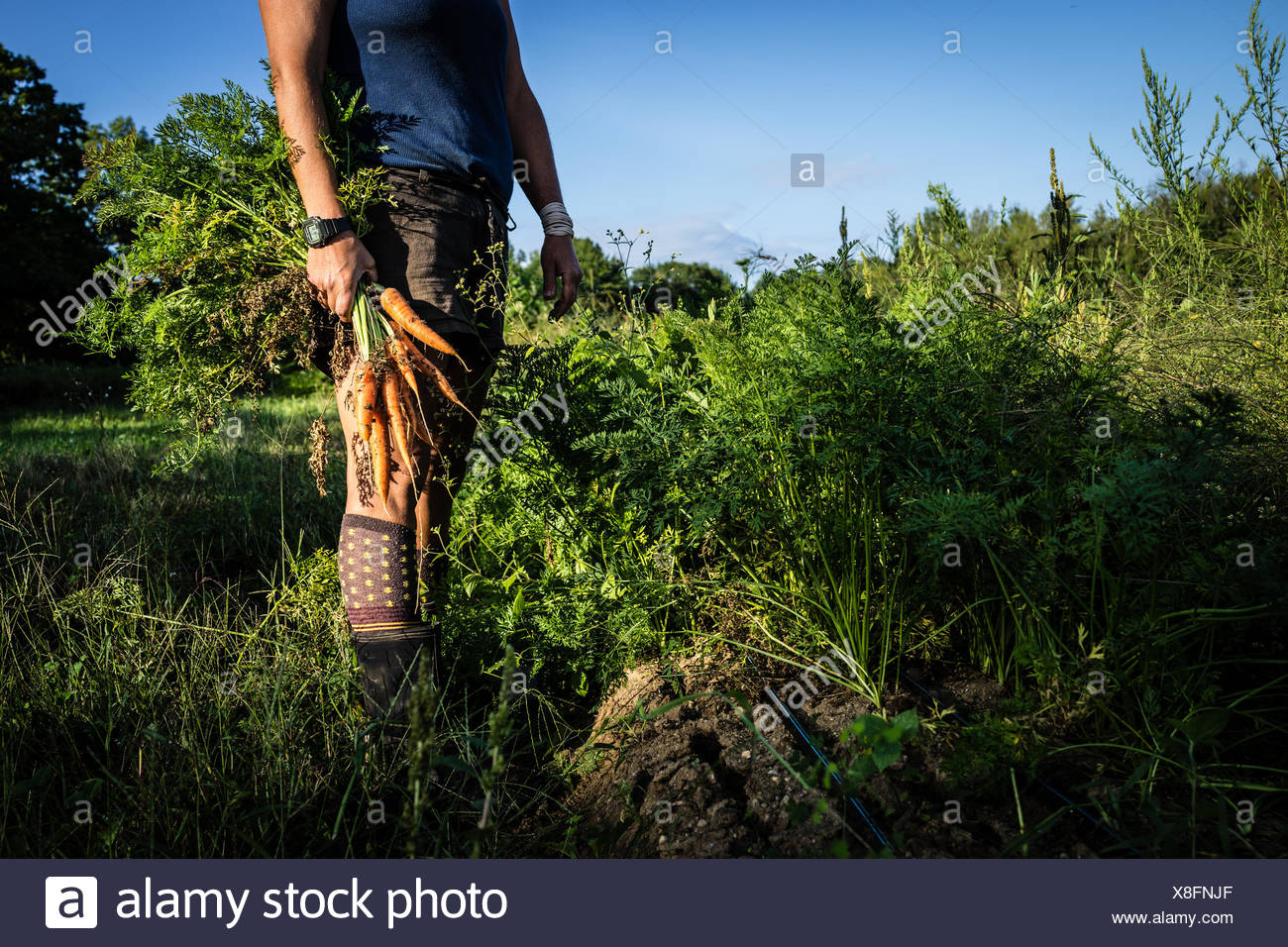 A farmer with a handful of carrots she has just pulled from her crop. - Stock Image