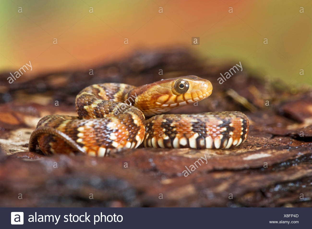 banded water snake (Nerodia fasciata), rolled-up - Stock Image