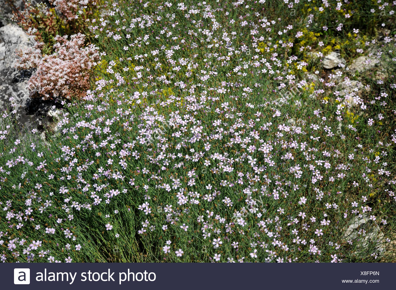 Tunic-flower - Stock Image