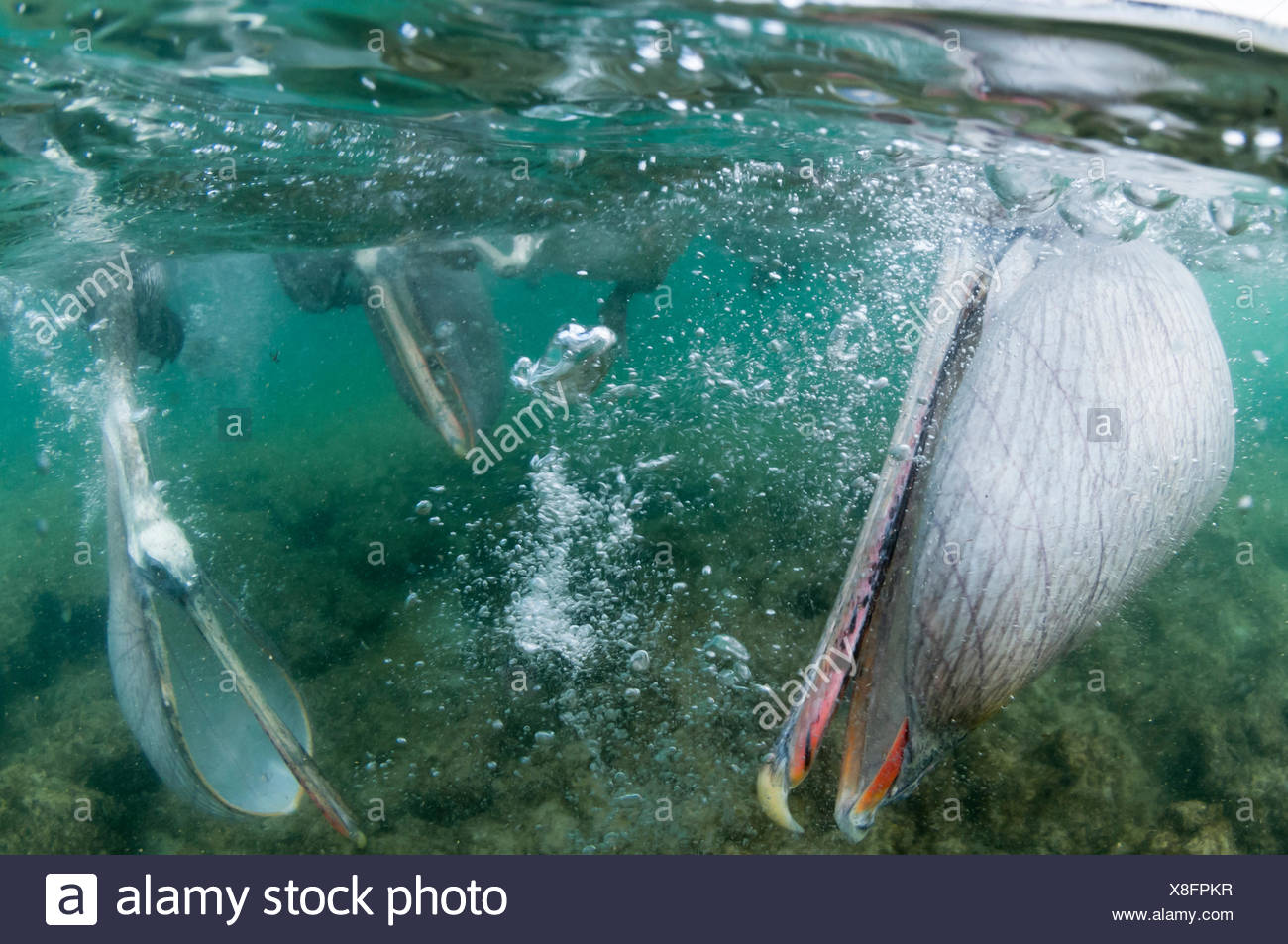 Brown pelicans (Pelecanus occidentalis) feeding underwater, with throat pouch expanded, Galapagos - Stock Image