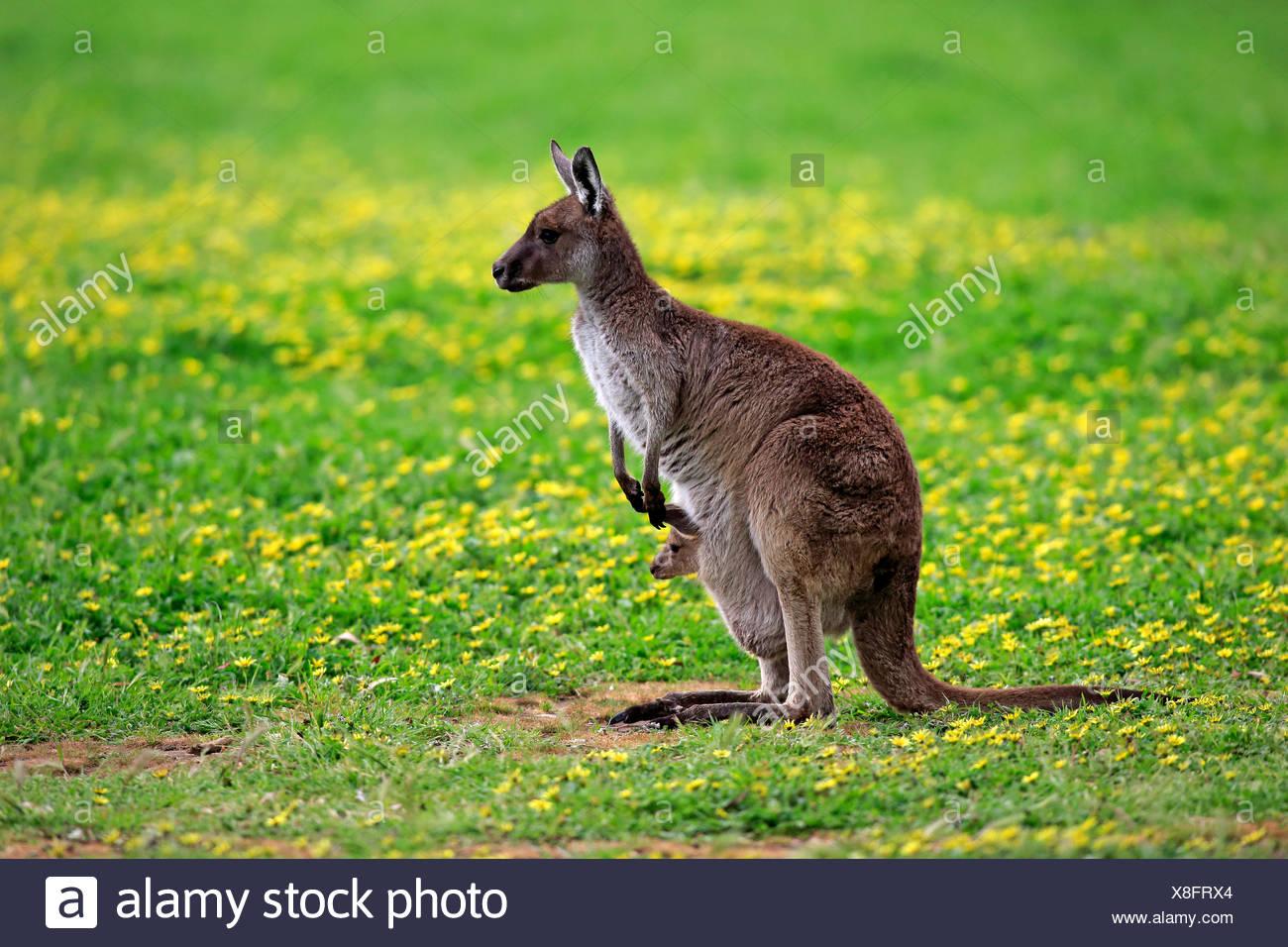 Kangaroo Island Kangaroos (Macropus fuliginosus fuliginosus), female with joey in the pouch, South Australia, Australia Stock Photo