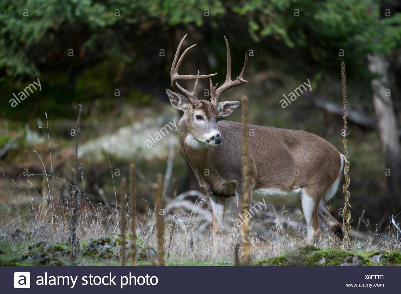 Male Whitetail Deer, Odocoileus virginianus, Central Idaho, USA Stock Photo
