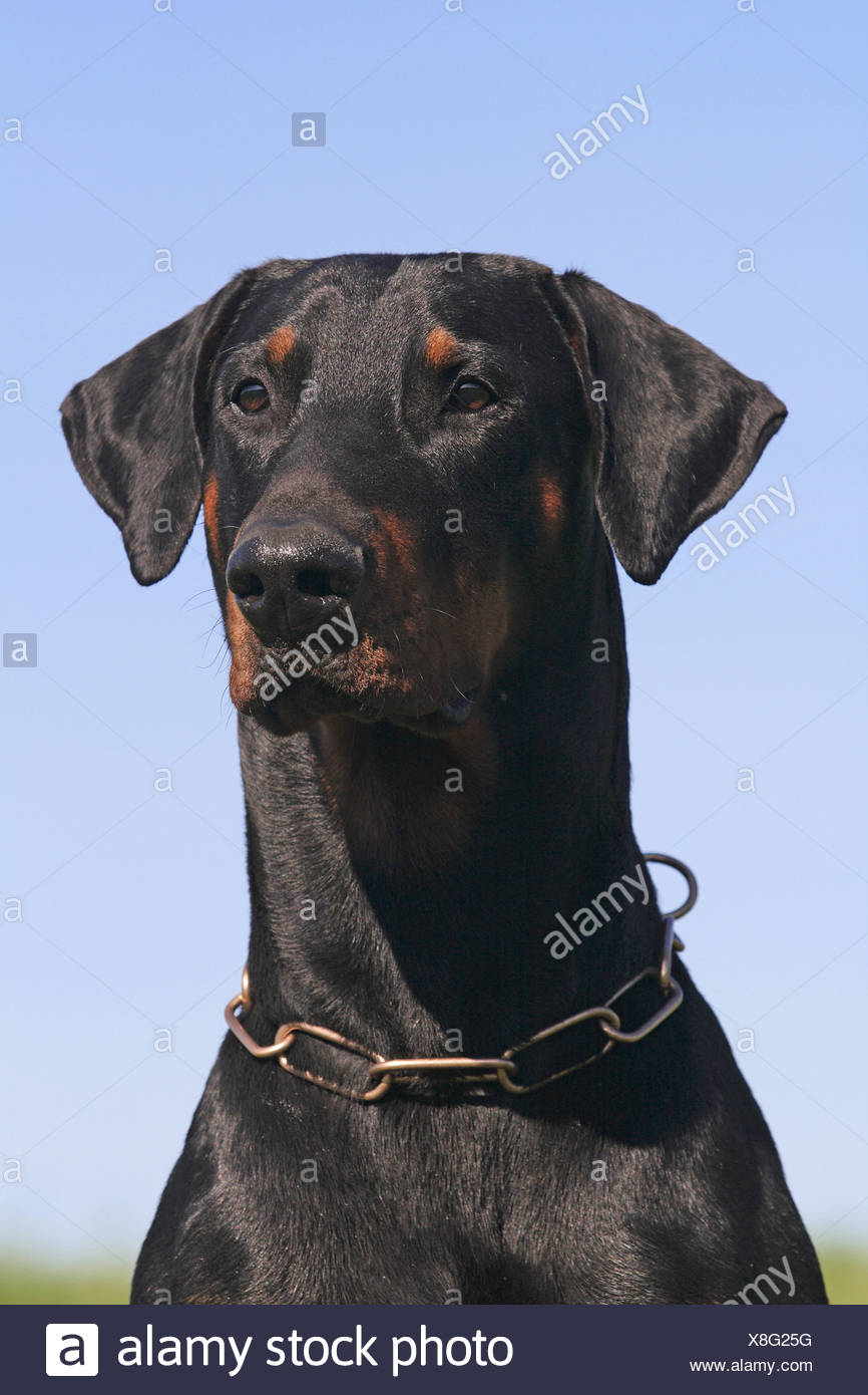 Dobermann - portrait - Stock Image