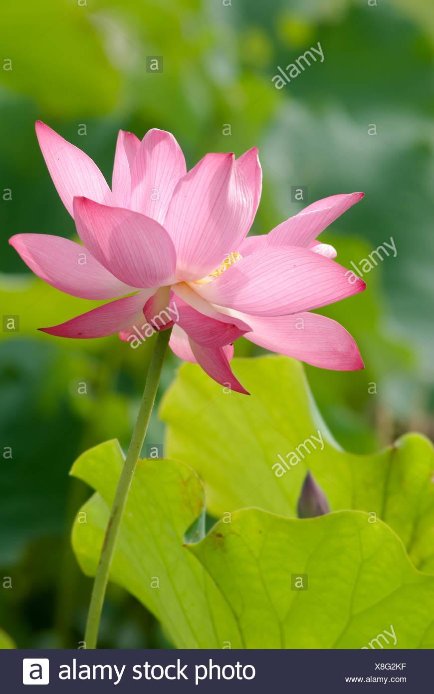 It is the beautiful lotus flower photo stock photo 280636483 alamy it is the beautiful lotus flower photo izmirmasajfo
