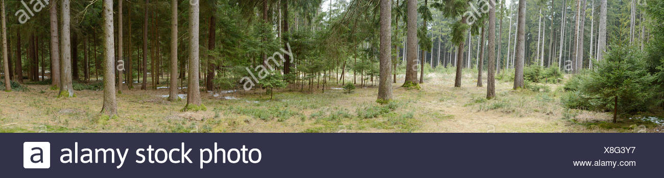 Norway spruces, Upper Palatinate, Bavaria, Germany, Europe - Stock Image