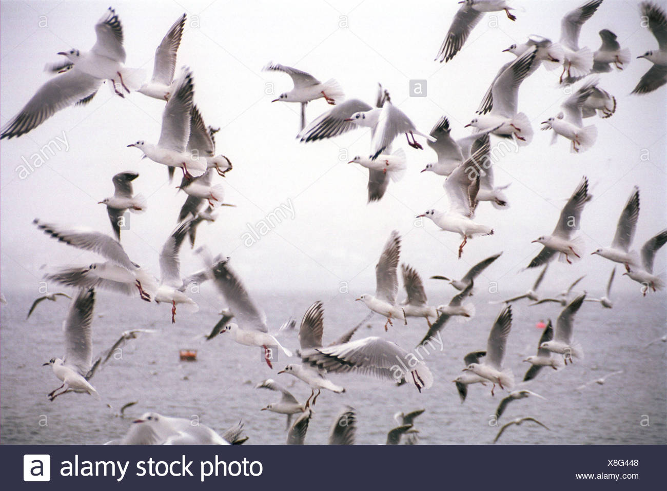 Flying seagulls on Zuerichsee - Stock Image
