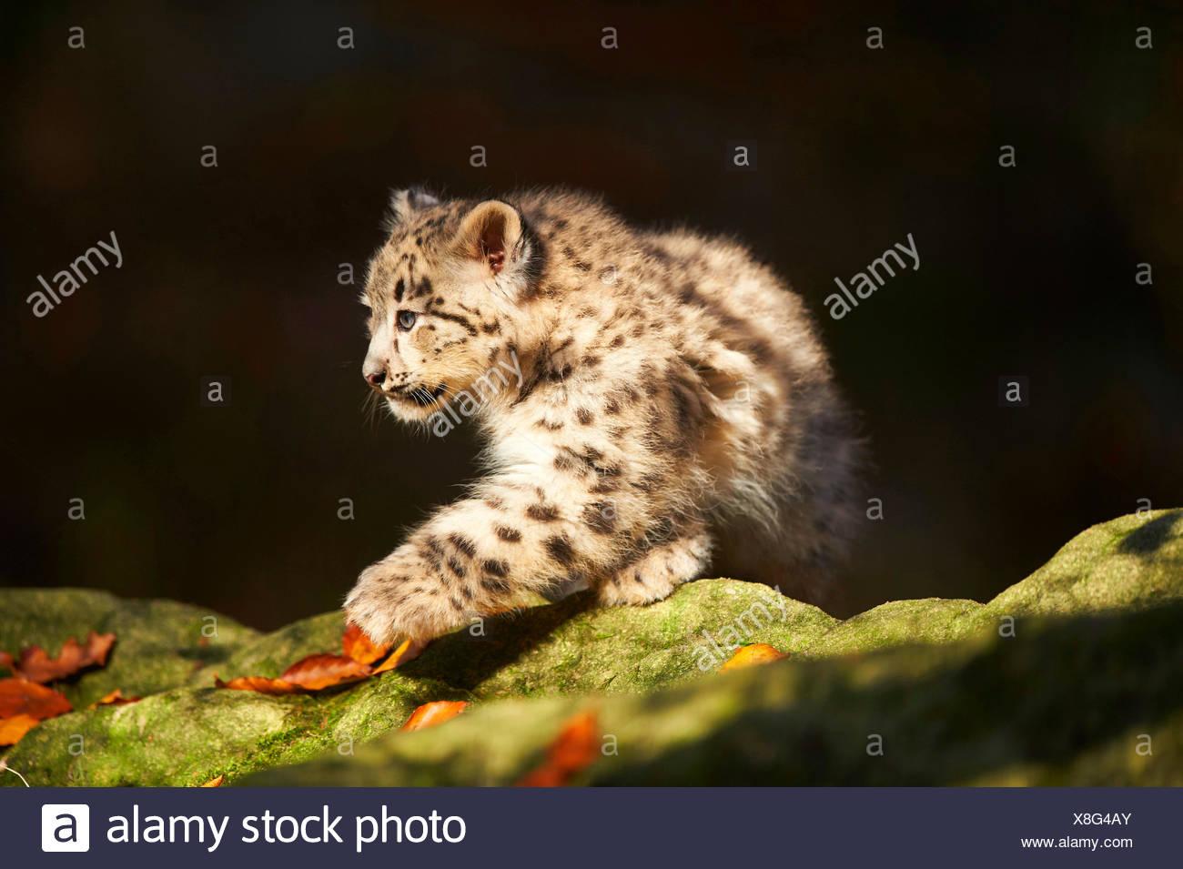 snow leopard (Uncia uncia, Panthera uncia), leopard cub on mossy stones, half-length portrait - Stock Image