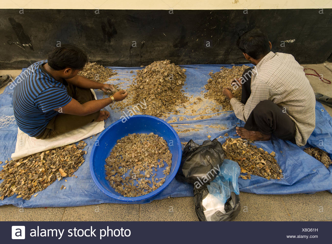 Indian workers separate and clean frankincense sap at a market in Salalah, Oman. - Stock Image