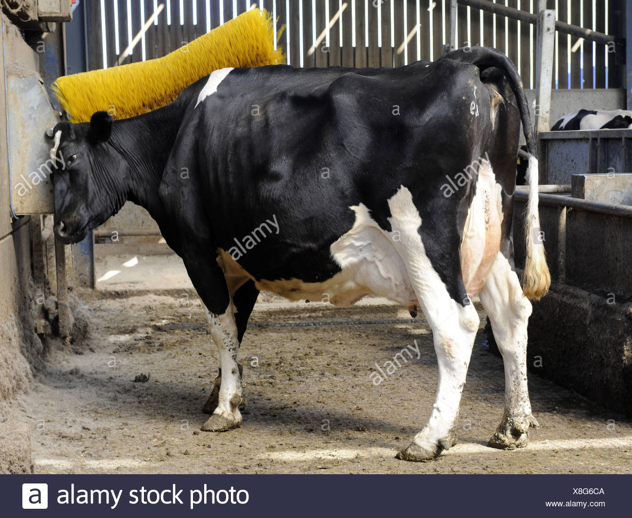 A friesian cow having his back scrubbed - Stock Image