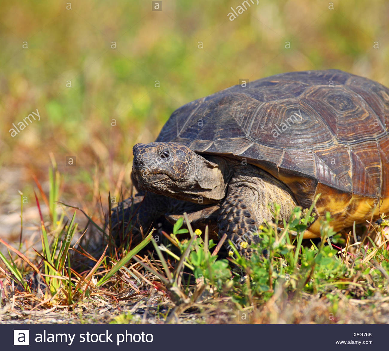 Gopher Tortoise Marco Island