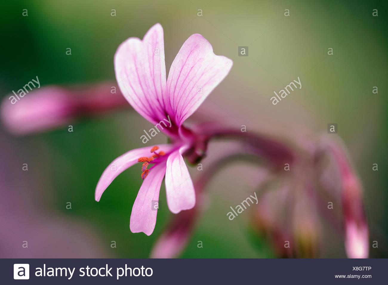 Transvaal perlagonium, Pelargonium transvaalense. - Stock Image