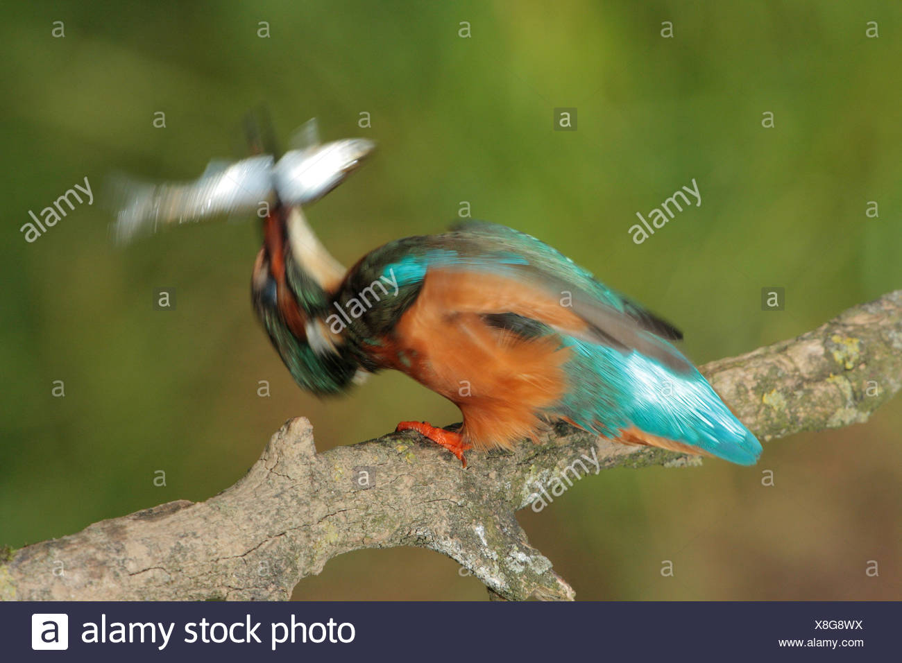 river kingfisher (Alcedo atthis), male killing prey by slapping it on the branch, Germany, Bavaria - Stock Image