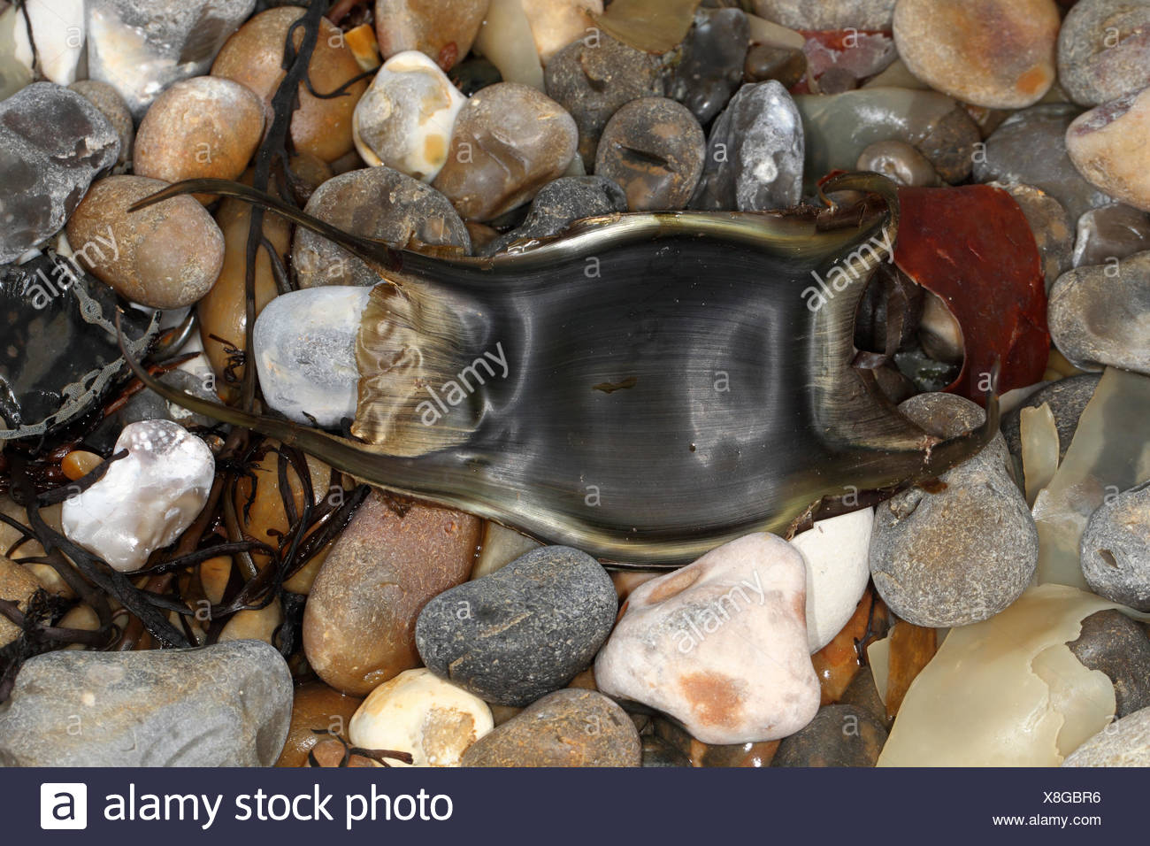 Blonde Ray - Raja brachyura - egg case - Stock Image