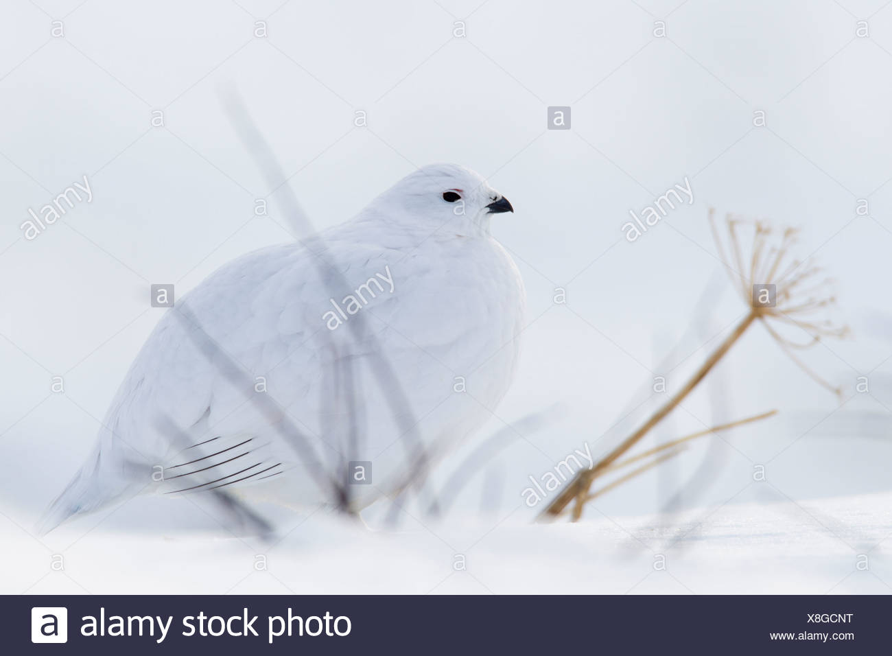 Willow Ptarmigan in white winter plumage sitting behind bare branches on snowpack, Chugach Mountains, Alaska, Winter Stock Photo