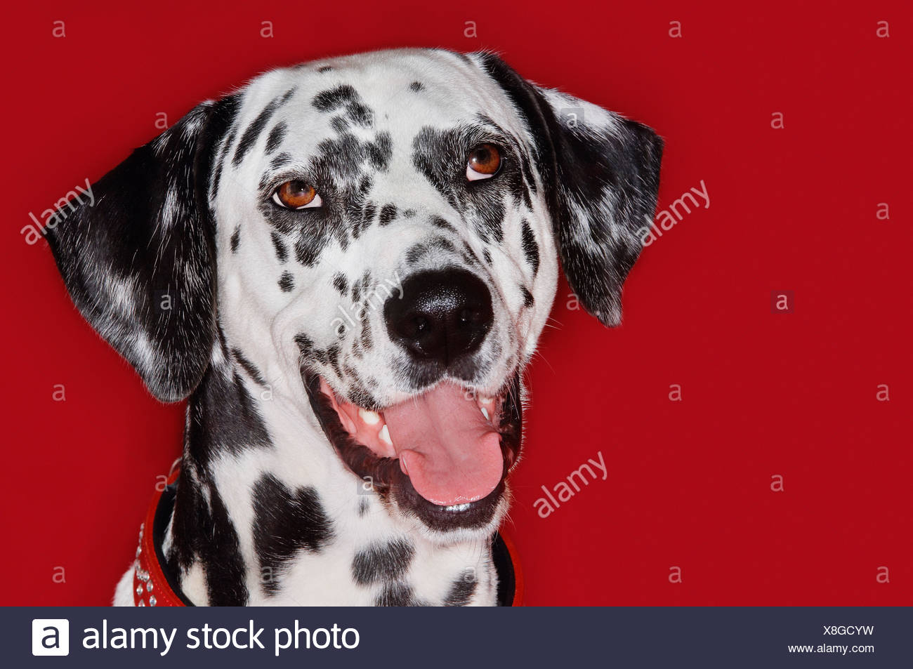 Dalmatian, close-up, mouth open - Stock Image