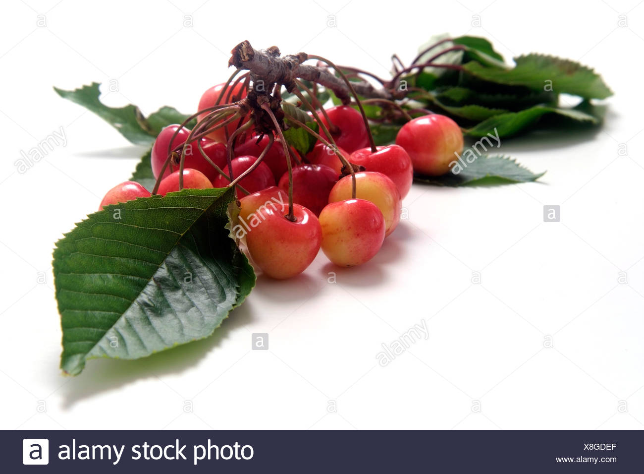 Cherry variety Altenburger Knorpelkirsche  with twig and leaves - Stock Image