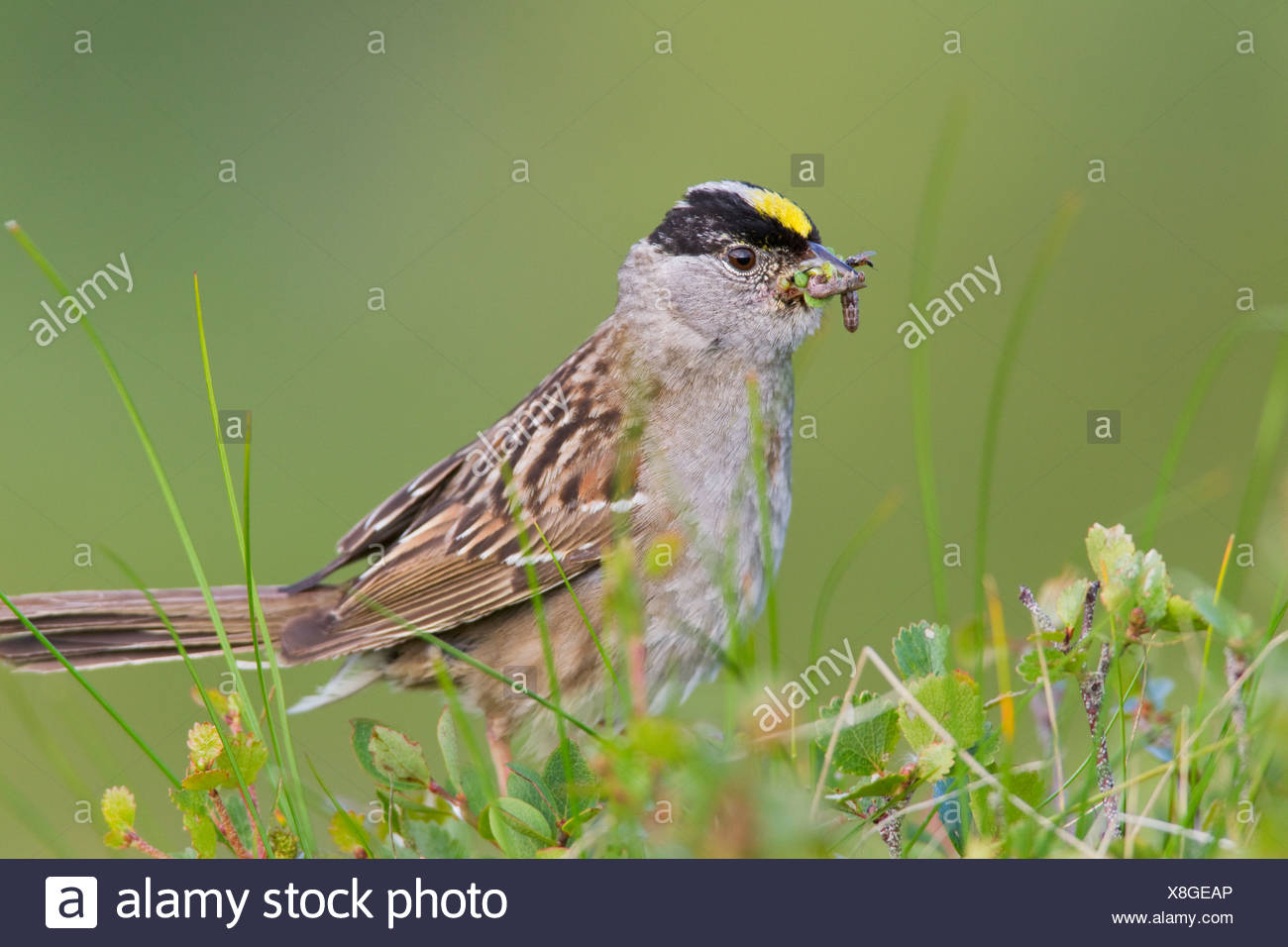 Close up of a Golden-crowned Sparrow with its bill full of worms to feed young, Arctic Valley, Chugach State Park, Alaska - Stock Image