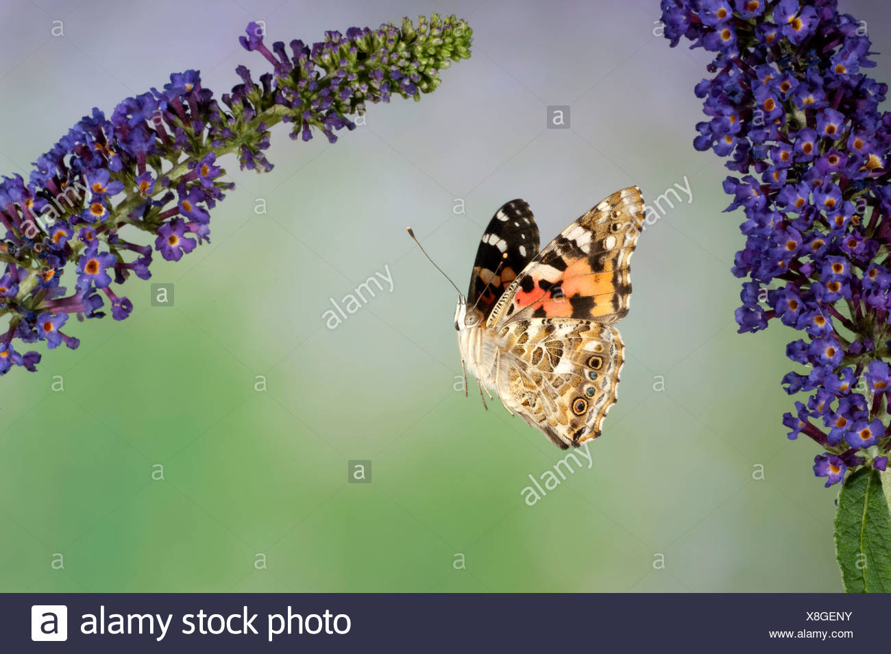 Painted Lady Butterfly Cynthia cardui adult in flight high speed photographic technique flying over buddelia migrant to UK Stock Photo