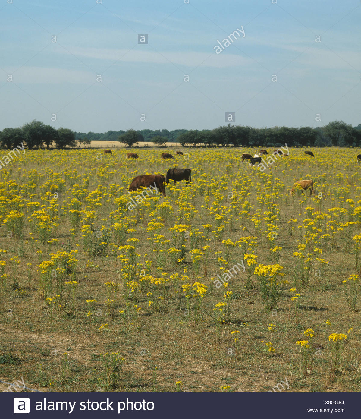 Ragwort (Jacobaea vulgaris) flowering in dry pasture with cattle grazing around the toxic plants - Stock Image