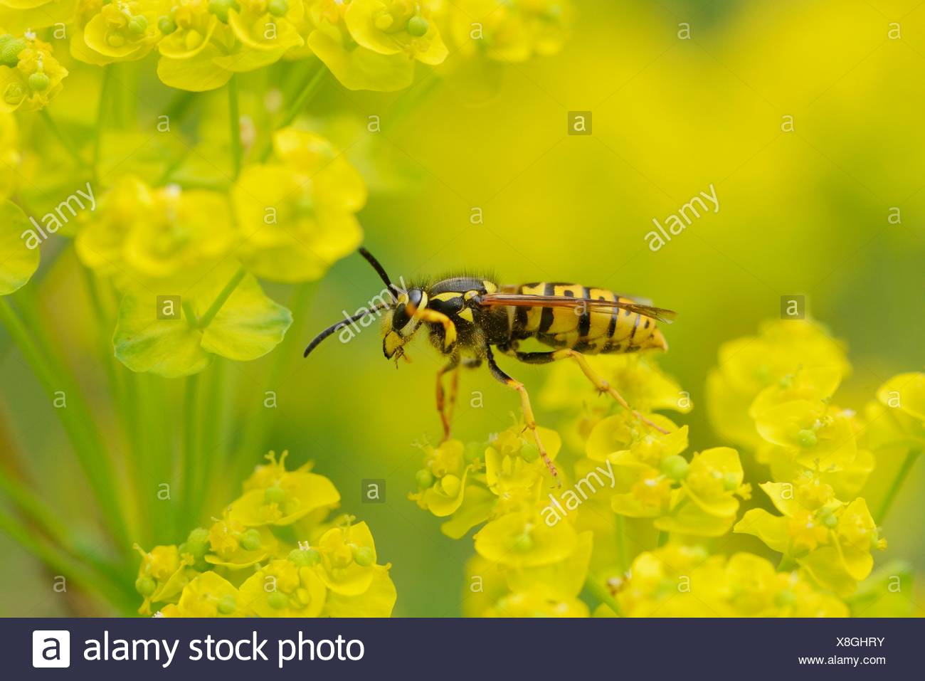 Close-up of a common wasp on a cypress spurge - Stock Image