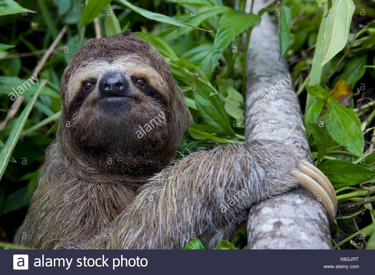 Close-up portrait of a sloth with branch against leaves at Costa Rica - Stock Image