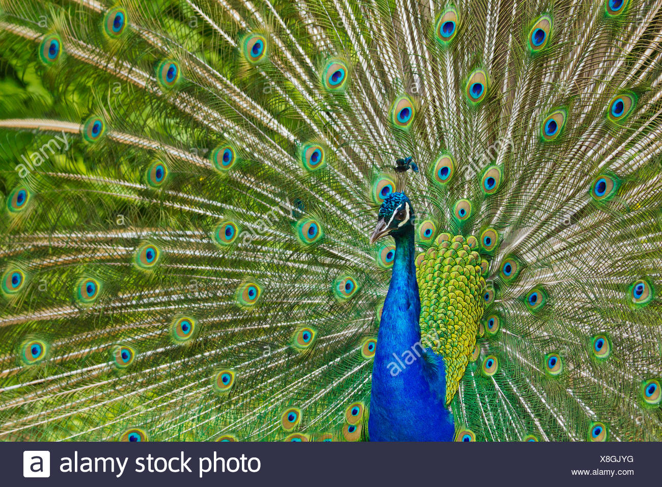 Indian Peafowl or Blue Peafowl (Pavo cristatus) Stock Photo