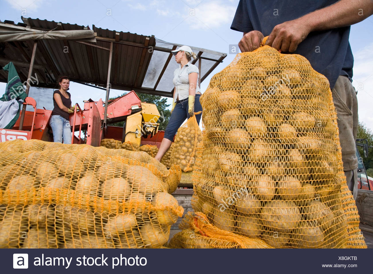workers, sacks of potatoes, Lower Saxony, Northern Germany - Stock Image
