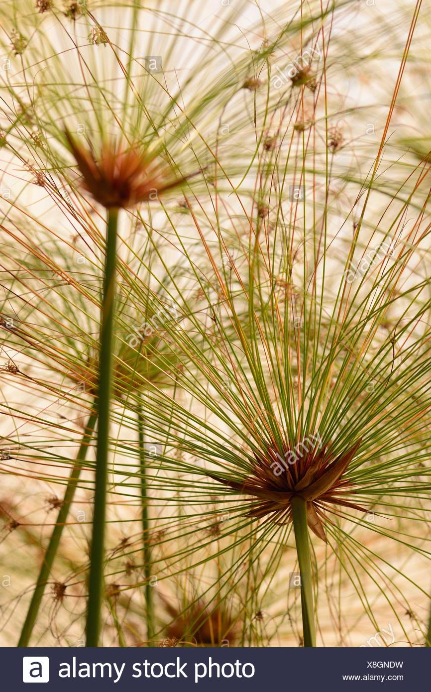Close up of papyrus stalks from below. - Stock Image