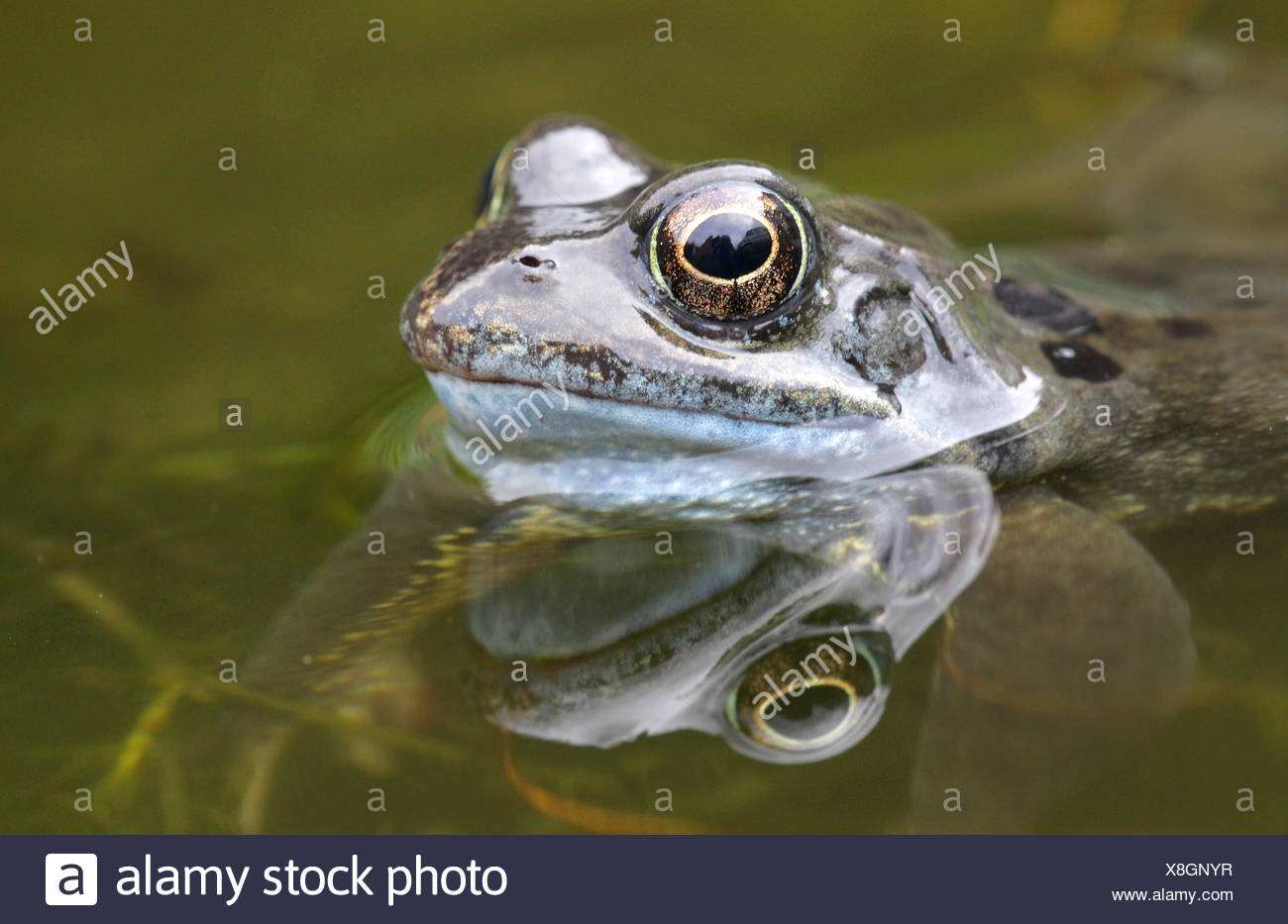 Common Frog - Rana temporaria Stock Photo