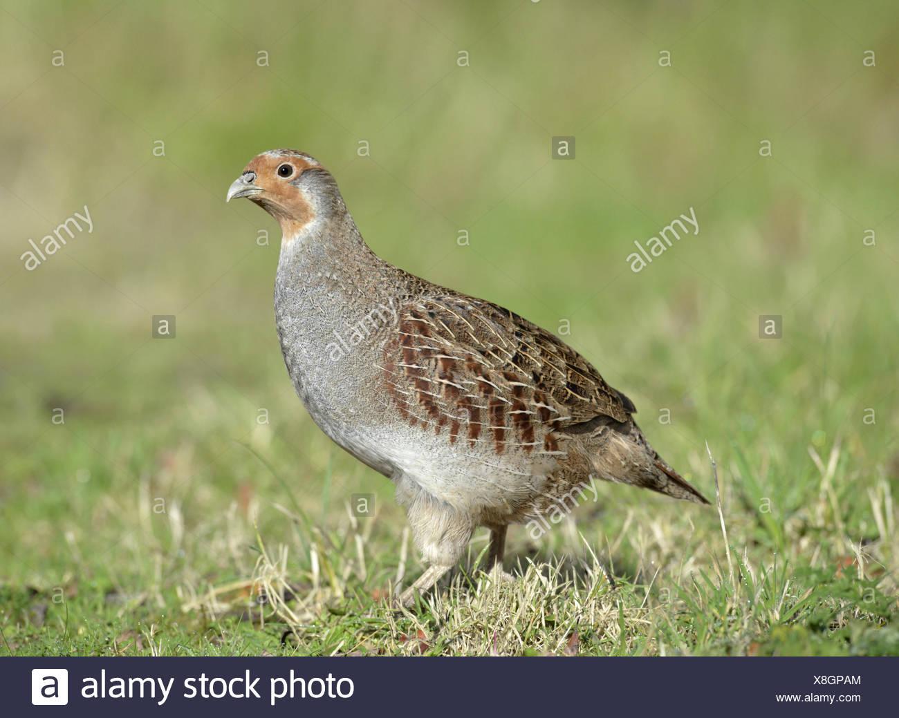 Grey Partridge - Perdix perdix - female - Stock Image
