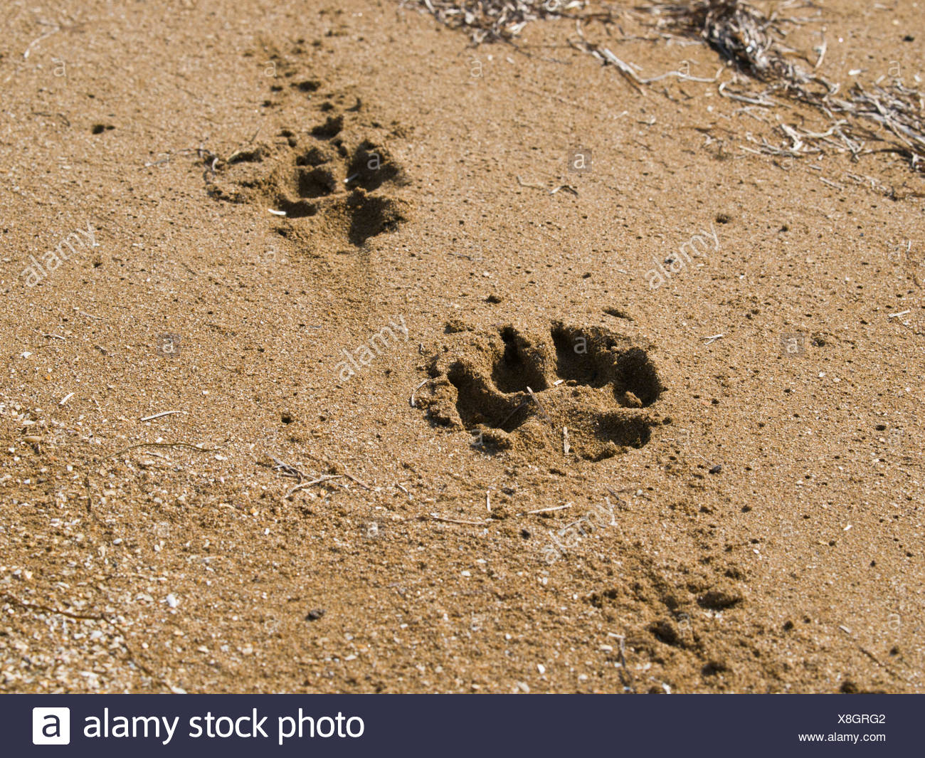 Azerbaijan, Europe, Caucasus, Shirvan, national park, Wolf, tracks, nature, daylight, sand, desert, savanna, print, - Stock Image