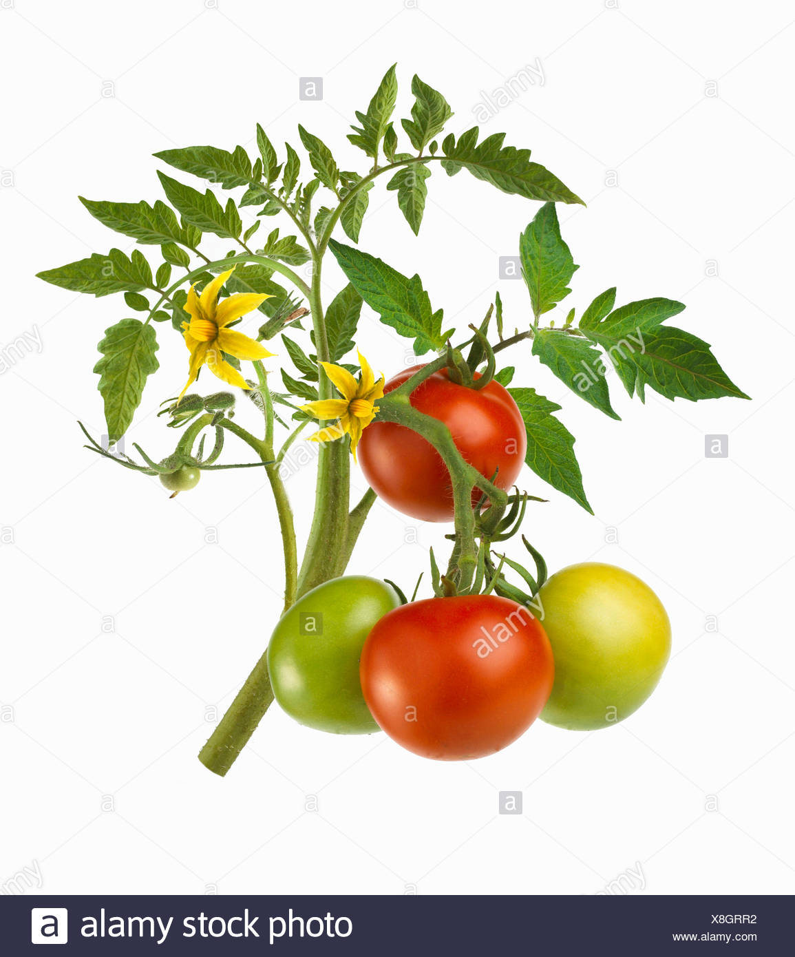 Tomato Flowers Cut Out Stock Images Pictures Alamy Prune Tomatoes Diagram Of Plant Stalk With Ripe Unripe Image