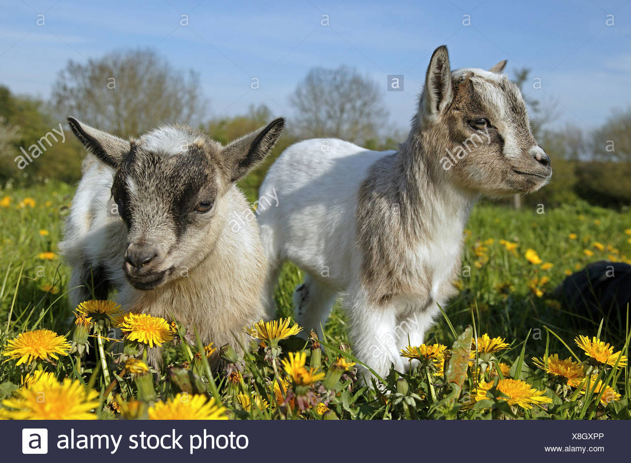PYGMY GOAT OR DWARF GOAT capra hircus, 3 MONTHS OLD BABY WITH FLOWERS - Stock Image