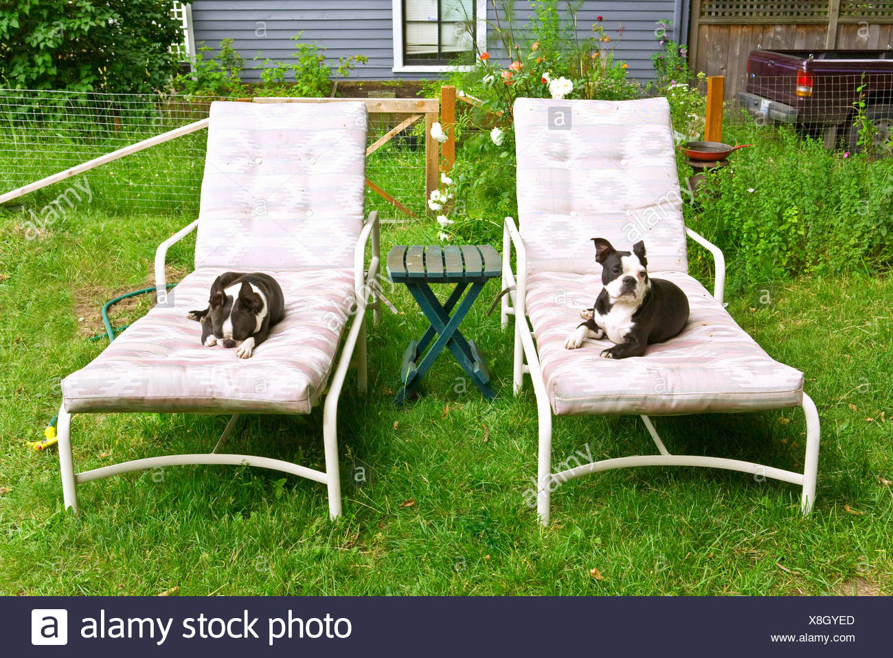 Super Dogs Sitting On Lounge Chairs Stock Photo 280655941 Alamy Interior Design Ideas Tzicisoteloinfo